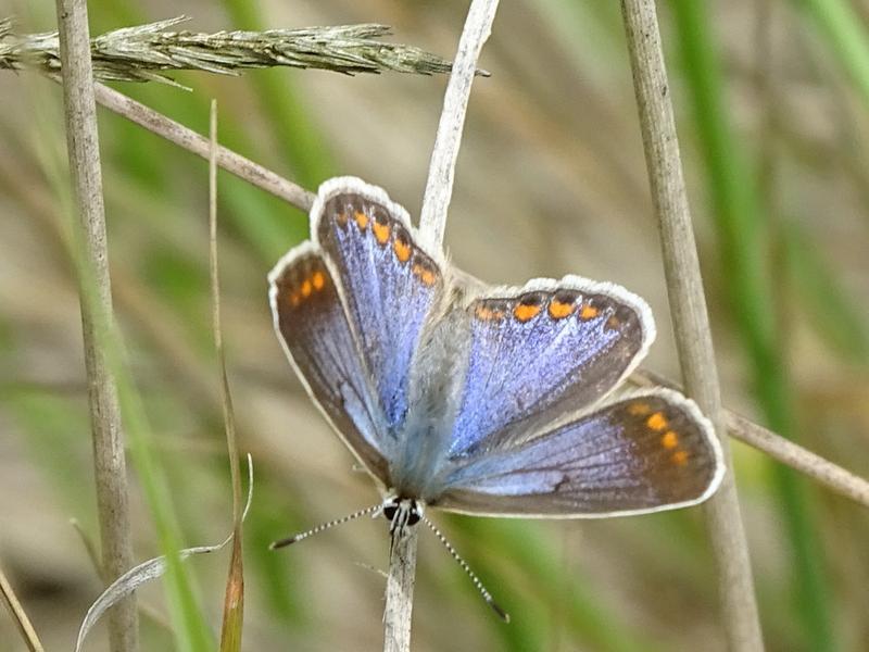 Hauhechel-Bläuling (Polyommatus icarus) – Foto: Tobias Krause