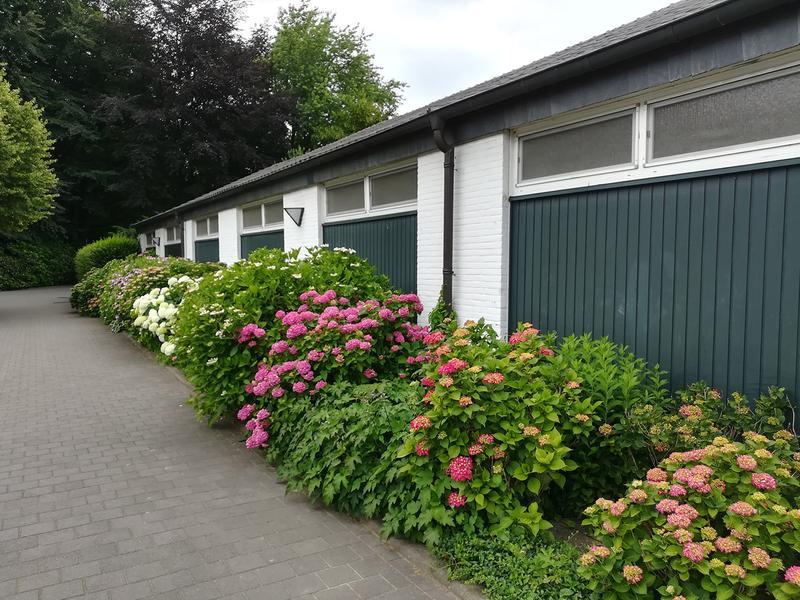 Hortensiengruppen in üppiger Blütenpracht