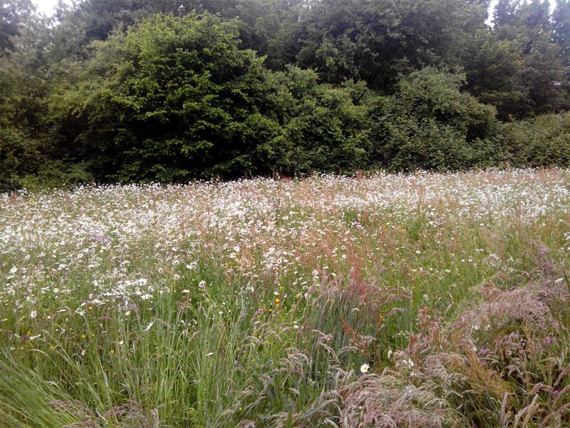 Blumenwiese am Parkplatz des Golf Club Hubbelrath